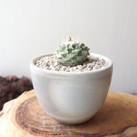 ストロンボカクタス  ディシフォルミス   菊水  no.005   Strombocactus disciformis