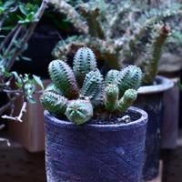 ユーフォルビア  オベサ hyb. /Euphorbia obesa  hyb.    no.60622