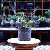 オトンナ  クラビフォリア/Othonna clavifolia    no.50242