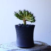 ユーフォルビア  エノプラ   紅彩閣  綴化      Euphorbia enopla   f. monstruosus  no.11922