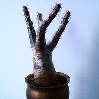パキポディウム  カクチペス  Pachypodium rosulatum var. cactipes  No.31025