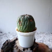 ユーフォルビア  オベサ  Euphorbia obesa  no.102808
