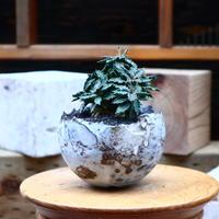 ユーフォルビア  トゥレアレンシス/Euphorbia tulearensis     no.72542