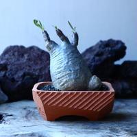 パキポディウム グラキリス   Pachypodium rosulatum var. gracilius no.30105