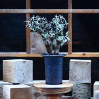 ペラルゴニウム  クリズミフォリウム/Pelargonium crithmifolium    no.82245
