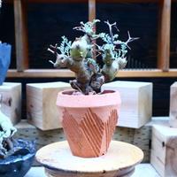 ペラルゴニウム  クリズミフォリウム/Pelargonium crithmifolium    no.  70429