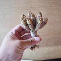 ユーフォルビア   ギラウミニアナ  Euphorbia guillauminiana  no.630EGS8