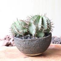 ユーフォルビア  ホリダ  no.011   Euphorbia  horrida