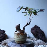 フィランサス   ミラビリス   Phyllanthus mirabilis  no.91501