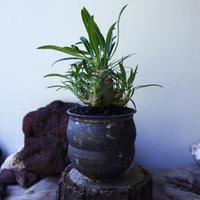 パキポディウム  カクチペス  Pachypodium rosulatum var. cactipes no.72802