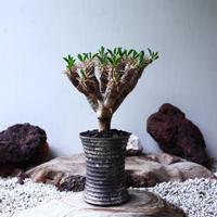 ユーフォルビア   ギラウミニアナ  Euphorbia guillauminiana  no.90103