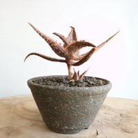 アロエ   マルコ    no.001    Aloe cv.Marco