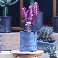 ユーフォルビア 紅彩雲閣  Euphorbia trigona f. rubra    no.32114