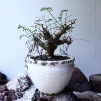 ペラルゴニウム カルノーサム  Pelargonium carnosum  no.61605