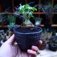 アデニア  グラウカ/Adenia glauca    no.52334