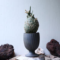 アデニア  グロボーサ      Adenia globosa       no.90815