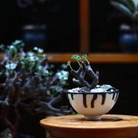 ペラルゴニム  ミラビレ/Pelargonium mirabile   no.91921