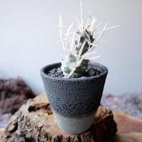 テフロカクタス   アーティキュラータス   武蔵野   no.004  Tephrocactus articulatus