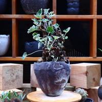 ぺラルゴ二ウム   エキナツム/Pelargonium  lechinatum   no.62713