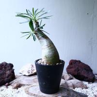 パキポディウム グラキリス   Pachypodium rosulatum var. gracilius no.102733