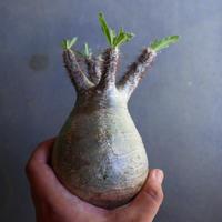 パキポディウム グラキリス 抜苗  Pachypodium rosulatum var. gracilius no.100634