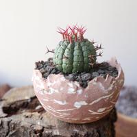 ユーフォルビア 群星冠     no.001   Euphorbia   stellispina