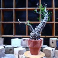 オペルクリカリア  パキプス/Operculicarya  pachypus     no.71804