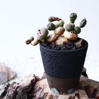 ユーフォルビア グロボーサ    Euphorbia globosa   no.72221