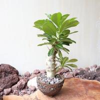 パキポディウム  サンデルシー   no.013  Pachypodium saundersii