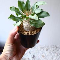 パキポディウム   ナマクアナム  光堂  Pachypodium namaquanum  no.1114-2