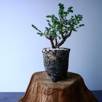 ペラルゴニム   アルテルナンス  Pelargonium alternans  No.035