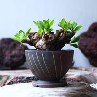 ユーフォルビア    イトレメンシス    Euphorbia itremensi  no.021