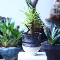 フォークイエリア   プルプシー    Fouquieria purpusii  no.61426