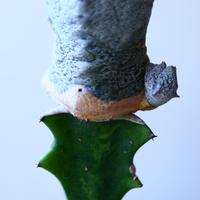 ユーフォルビア アブデルクリ 接木  Euphorbia abdelkuri   no.110817