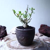 フォークイエリア  コルムナリス  観峰玉 Fouquieria columnari   no.102704