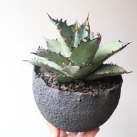 アガベ チタノタ   no.001   agave titanota