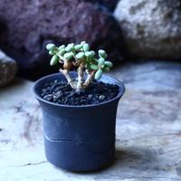 ケラリア  ピグマエア   Ceraria pygmaea  挿木  no.22320