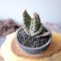 アロエ アクレアータ クロウジアナ   no.007   Aloe aculeata var  crousiana