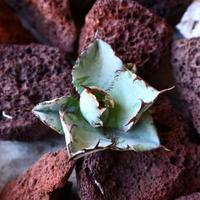 アガベ チタノタ ブラック&ブルー Agave titanota black&bule   no.30850