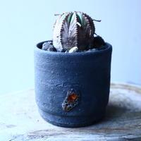 ユーフォルビア  バリダ  hyb.  Euphorbia valida hyb. no.21654