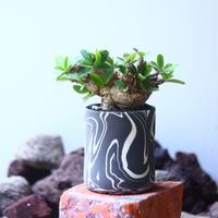 ユーフォルビア    イトレメンシス    Euphorbia itremensi  no.53102