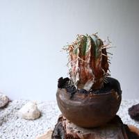 ユーフォルビア  バリダ   no.043   Euphorbia valida