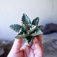 アガベ   チタノタ  Agave  titanota   no.111002