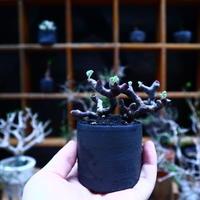 ペラルゴニム  ミラビレ /Pelargonium mirabile   no.90506