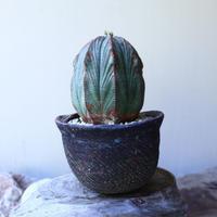 ユーフォルビア  オベサ  ♀  Euphorbia obesa no.60209