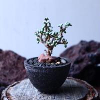 ケラリア  ピグマエア   Ceraria pygmaea  挿木  no.22324