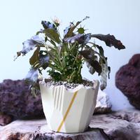 ドルステニア フォエチダ   Dorstenia foetida  no.006