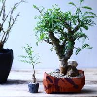 ボスウェリア  ネグレクタ    Boswellia neglecta  小鉢セット    no.90636