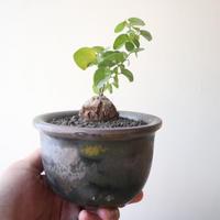 ディオスコレア   亀甲竜   no.030  Dioscorea elephantipe