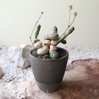 ユーフォルビア グロボーサ    Euphorbia globosa   no.72222